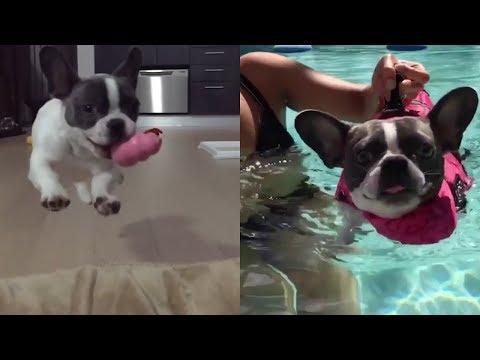 Funny and Cute French Bulldog compilation 2018 | Cute puppies doing funny things #18