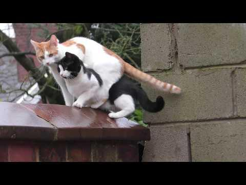 2 Funny Amazing 'Parkour Cats' Jumping Together In Purrfect Sync Onto Wall - Original