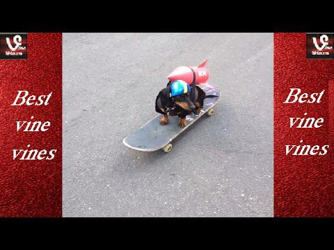 NEW FUNNY  Crusoe Celebrity Dachshund ALL VINES Compilation (VİNE)