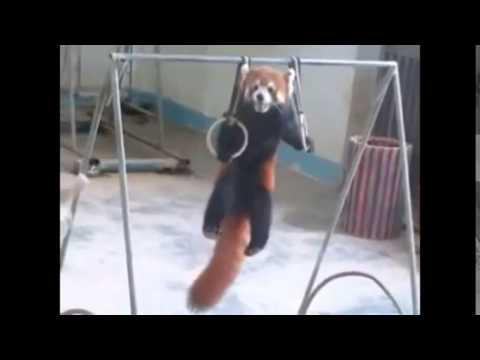 Adorable Red Panda Funny Supercut Compilation 2014