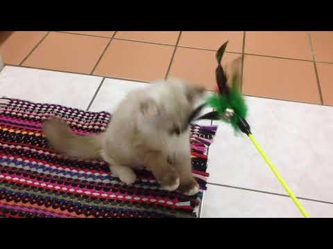 Lofa The Ragdoll | 3 Months Old Kitten | My Pet