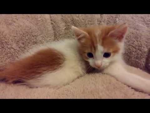 Super Cute Kitten - 4K Ultra Hd 2160p - Original - かわいいねこ