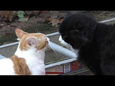 Cat Confrontation Standoff - 4K Ultra Hd 2160p Video - Original