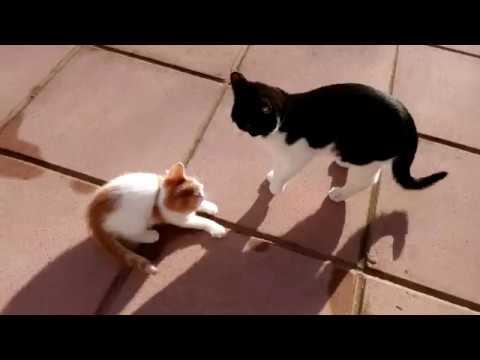 Epic Cat Fight - Cat vs Kitten - 4K Ultra Hd 2160p - 猫の戦い - Original