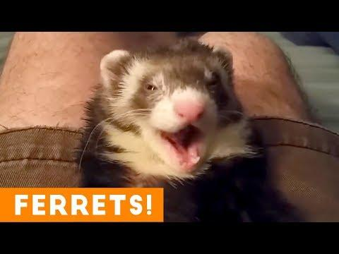 Most Adorable Ferret Video Ever August 2018 | Funny Pet Videos