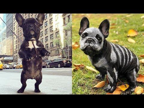 Funny and Cute French Bulldog compilation 2018   Cute puppies doing funny things #19