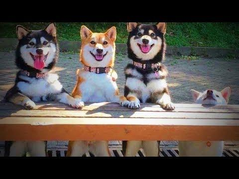 Weird Dogs ???????? Funny Huskies 2017 - 2018 (Part 1) [Funny Pets]