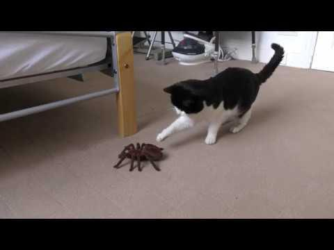 Tom The Cat Reacts to RC Robot Spider - 4K Ultra Hd 2160p - Original