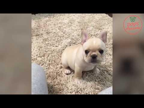 Funniest & Cutest French Bulldog puppies Videos Compilation 2017 | Funny DOG vines compilation #283
