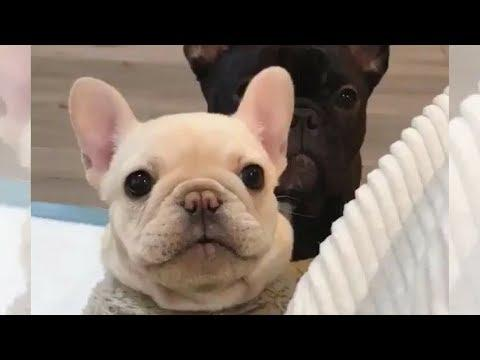 Funniest & Cutest French Bulldog puppies Videos Compilation 2018 | Funny DOG vines compilation #346
