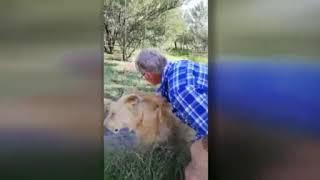 Lion attacks man who feeds him