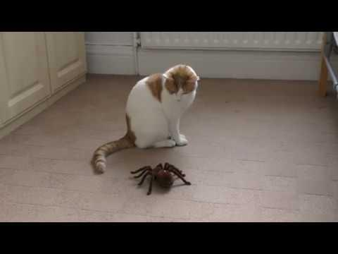 Mimi The Cat reacts to remote controlled spider - 4K Ultra Hd 2160p